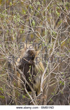 Ein Stachelschwein ernährt sich von Weide Knospen entlang den Denali Park Road im Frühsommer - Stockfoto