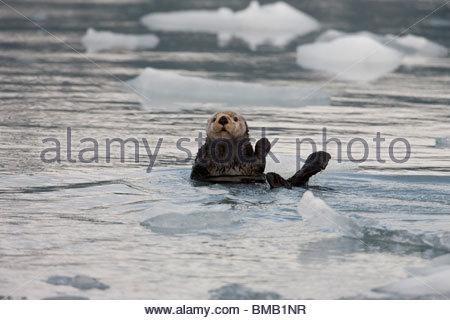 Ein Seeotter bobs unter schwimmendes Eis in der Nähe das Gesicht von einem kalbende Gletscher im Prince William - Stockfoto