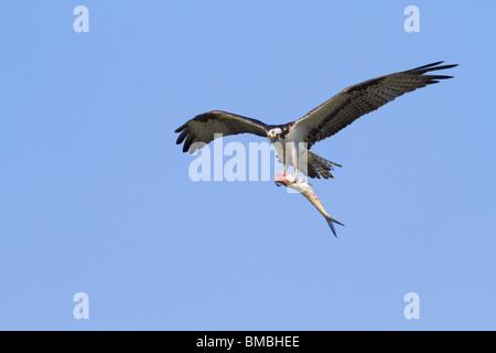 Fischadler (Pandion Haliaetus) fliegen mit einem gefangenen Fisch. - Stockfoto