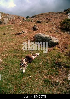 Schaf bleibt, Skelett und Fleece, auf Fjällflanken, Lake District, Großbritannien. - Stockfoto