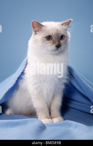 Heilige Birma / Birman Cat - Stockfoto