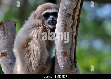 Die Lar Gibbon (Hylobates Lar) zeigt seine Zähne, auch bekannt als die weiße-handed Gibbon. - Stockfoto