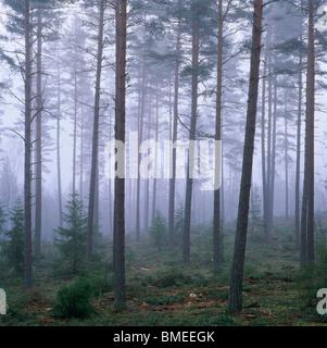 Ansicht von Nadelwald bedeckt mit Nebel - Stockfoto