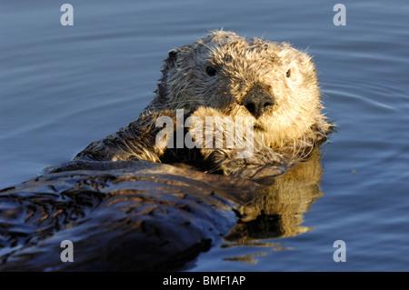 Foto Nahaufnahme von einem Kalifornien Seeotter (Enhydra lutris) im Wasser, Moss Landing, Elkhorn Slough, Kalifornien, Mai 2010.