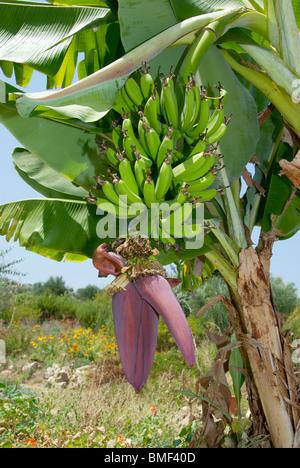 bananen palme mit unreife frucht und blume stockfoto bild. Black Bedroom Furniture Sets. Home Design Ideas