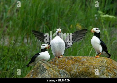 Papageientaucher, Katmai Nationalpark, Alaska - Stockfoto