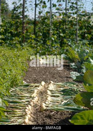 Zwiebeln in der heißen Sonne trocknen - Stockfoto
