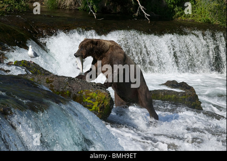Braunbär, Brooks Falls, Katmai Nationalpark, Alaska - Stockfoto