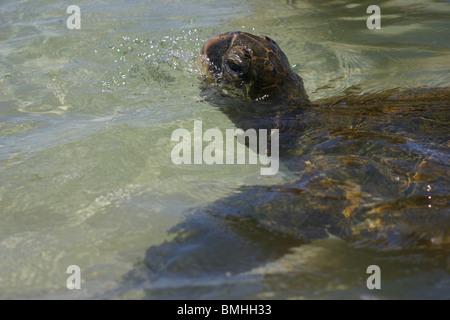 Grüne Meeresschildkröte auftauchen in Gefahr - Stockfoto