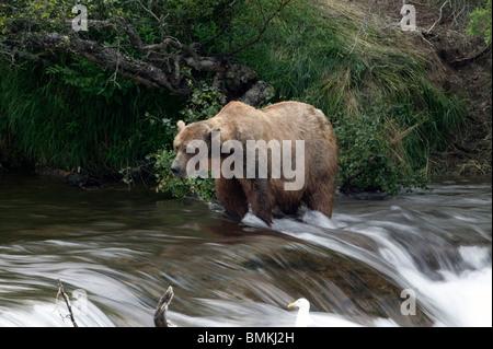 Brauner Bär Fischen, Brooks Falls, Katmai Nationalpark, Alaska - Stockfoto