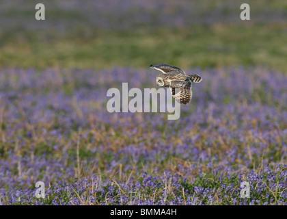 Kurze Eared Owl-Jagd über ein Feld der Glockenblumen - Stockfoto