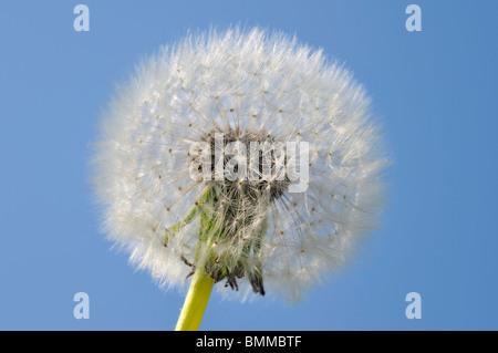 Blowball Taraxacum Officinale, blauer Himmel - Stockfoto