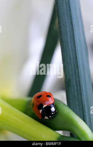 Coccinella Septempunctata sieben Spot Ladybird Beetle Coccinellidae Coleoptera ruht auf Narcissus Blume Blüte Blüte - Stockfoto
