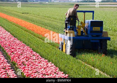 landwirt schneiden tulpen im feld f r leuchtmittel wachstum bei tulip lampe bauernhof in der. Black Bedroom Furniture Sets. Home Design Ideas