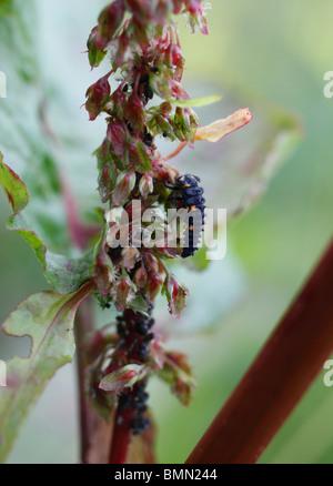 Sieben vor Ort Marienkäfer (Coccinella 7 Trommler) Larven ernähren sich von Blattläusen - Stockfoto