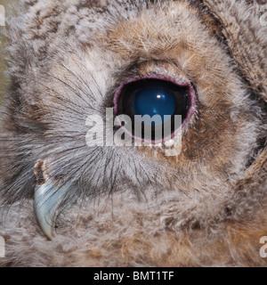 Eine junge Waldkauz (Strix Aluco) Küken hautnah bei ungefähr einen Monat alt im Vereinigten Königreich - Stockfoto