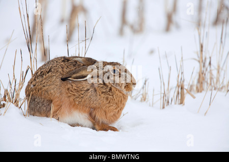 Braun Feldhase (Lepus Europaeus) sitzen im Schnee. - Stockfoto