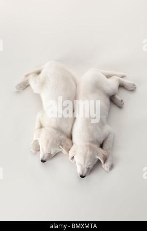 Zwei süße weiße Welpen schlafen auf weißem Hintergrund, die von oben gesehen - Stockfoto