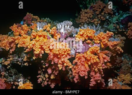 Stachelige Alcyonarian Korallen (Dendronephtya sp). Ägypten - Rotes Meer - Stockfoto