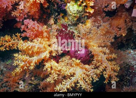 Stachelige Alcyonarian Korallen, Dendronephtya SP., Ägypten, Rotes Meer - Stockfoto