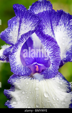 Blaue Staccato Iris hautnah. Schneiders Gärten. Oregon - Stockfoto
