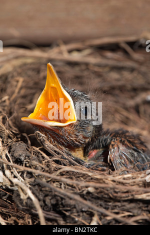Amsel; Turdus Merula; Küken im nest - Stockfoto
