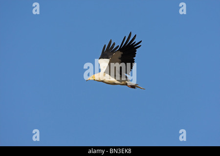 Schmutzgeier (Neophron Percnopterus) gegen blauen Himmel fliegen - Stockfoto