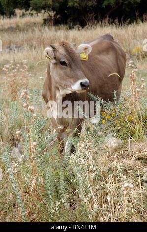 Kühe grasen auf die türkische Landschaft in der Nähe von Bodrum SW Türkei Kleinasien - Stockfoto
