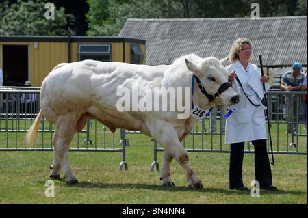 Belgian Blue Bull in Shropshire County Show - Stockfoto