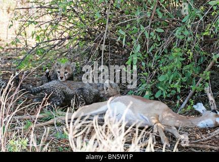 Essen eine Impala Gepard-Jungen töten in Samburu national Reserve, Kenia, Ostafrika. - Stockfoto