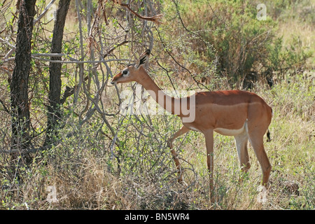 Gerenuk Antilope Essen verlässt in Samburu National Reserve, Kenia, Ostafrika - Stockfoto