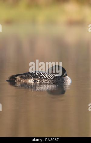 Gemeinsamen Loon schlafen, Northern Diver (Gavia Immer) aus Nord-Michigan - Stockfoto