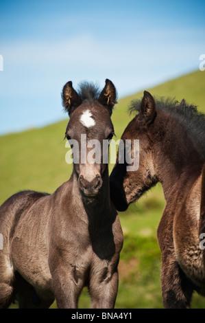 Zwei Welsh Mountain Pony Fohlen zusammen zu spielen, Heu zu bluffen, Wales - Stockfoto