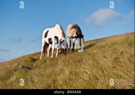 Welsh Mountain Ponys füttern auf grasbewachsenen Hang, Heu zu bluffen, Wales - Stockfoto