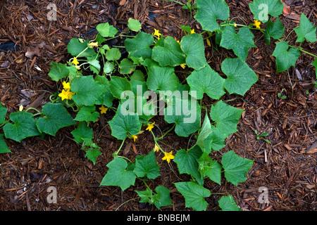 Gurken Garten in voller Blüte (Cucumis Sativus) E USA - Stockfoto