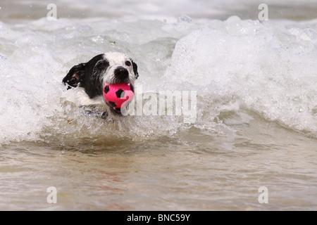 Jack Russell Hund Abrufen von seinen Ball aus dem Meer - Stockfoto