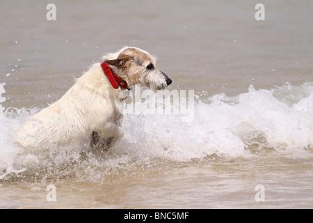 Jack Russell Hund spielen im Meer in Cornwall - Stockfoto