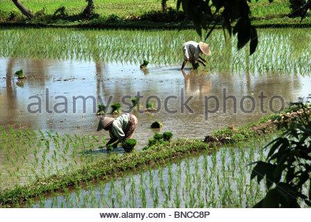 Zwei Frauen in Sarongs und Zuckerrohr Hüte auspflanzen Reis in einer überfluteten Reisfeld - Stockfoto