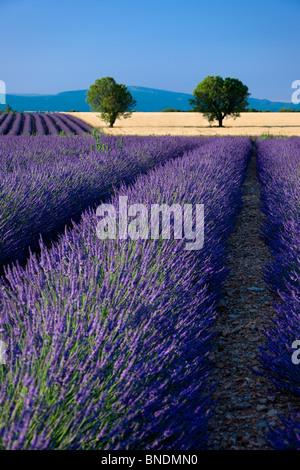 Lavendelfelder entlang der Hochebene von Valensole in Provence Frankreich - Stockfoto