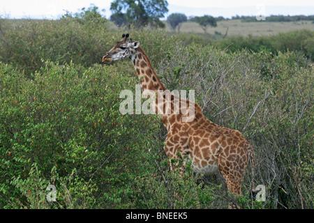 Ein Masai-Giraffe stehend in Masai Mara National Reserve, Kenia, Ostafrika - Stockfoto