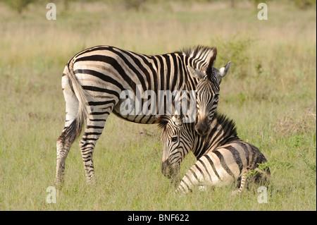 Ebenen Zebra (Equus Quagga) koppeln ruht auf Ebenen, Okavango Delta, Botswana - Stockfoto