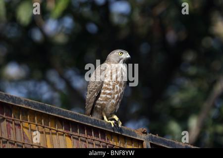 Shikra oder kleine gebändert Habicht (Accipiter Badius) kleine Greifvogel. Die Erwachsenen, die shikra hat blasse - Stockfoto
