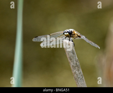 vier spotted Chaser Libelle in Ruhe - Stockfoto