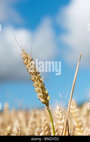 Triticum ästivum. Weizen in einem Feld in der englischen Landschaft Stockfoto