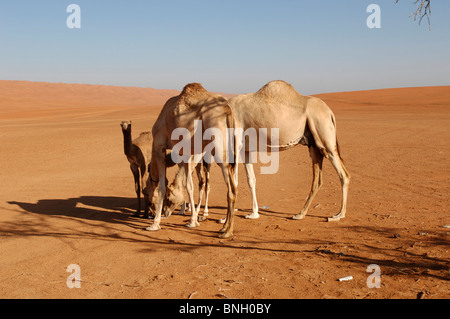 Dromedar in Oman Wüste - Stockfoto