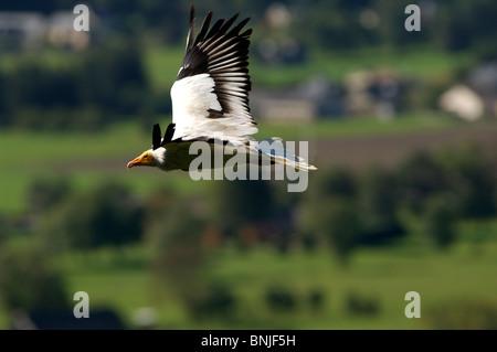 Ägyptischer Geier Neophron Percnopterus Flug fliegen Raubvogel Vögel Tier - Stockfoto
