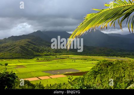 Bright verlässt der Taro-Felder in Hanalei Kauai mit Bergen im Hintergrund - Stockfoto