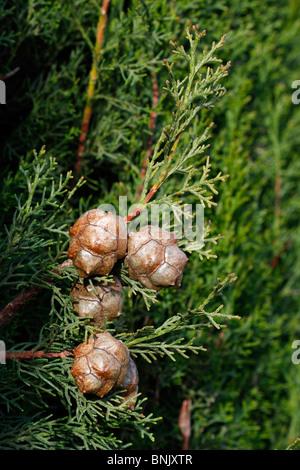Cupressus Sempervirens, italienische Zypresse, Kegeln - Stockfoto