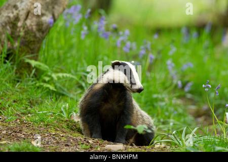 ein Dachs sitzen unter den Glockenblumen in einem Waldgebiet - Stockfoto
