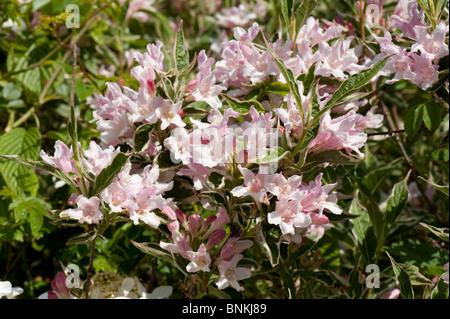 Weigela Florida Variegata Garten Blütenstrauch - Stockfoto